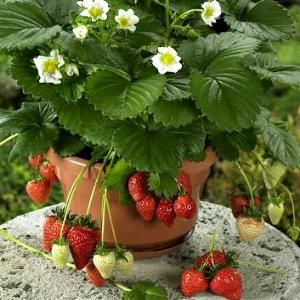 Beltran strawberry seeds - Garden Seeds - Vegetable Seeds