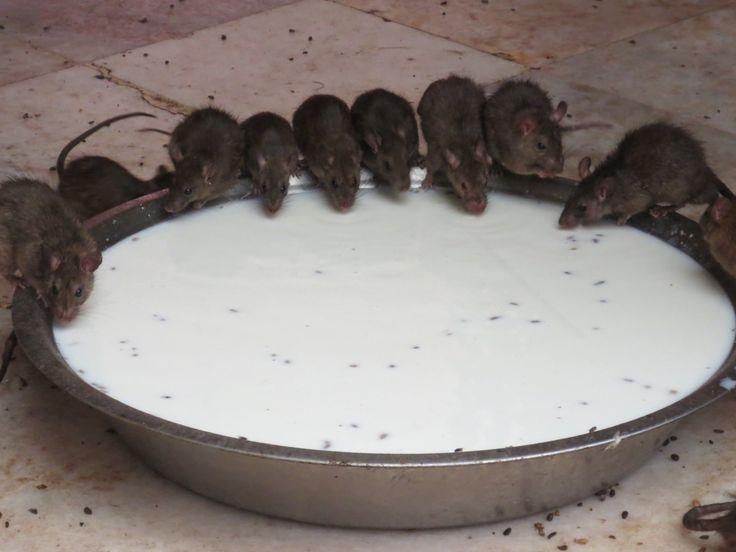 Au temple des rats
