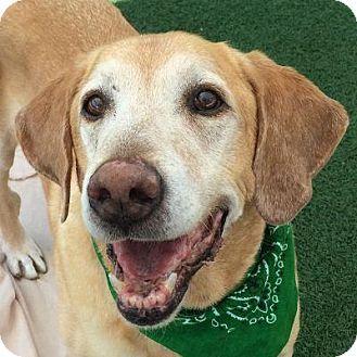 Labrador Retriever Mix Dog for adoption in Denver, Colorado - Chuck