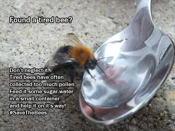 Found a tired looking bee? You can help bring it back to life!  Mix two tablespoons of sugar with one tablespoons of water and put it in a small receptacle to help that bee get back on track.