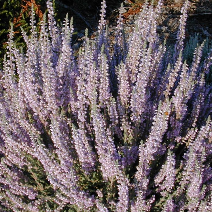 Possible potted flower: Calluna vulgaris 'Silver Knight'