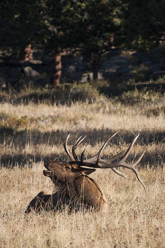 Bull Elk Bugle Print by Aaron Spong.