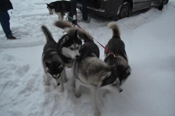 Despre o plimblare cu sania trasă de husky siberieni