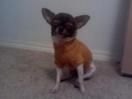 Darcys Cabled Sweater Pattern for Chihuahuas!