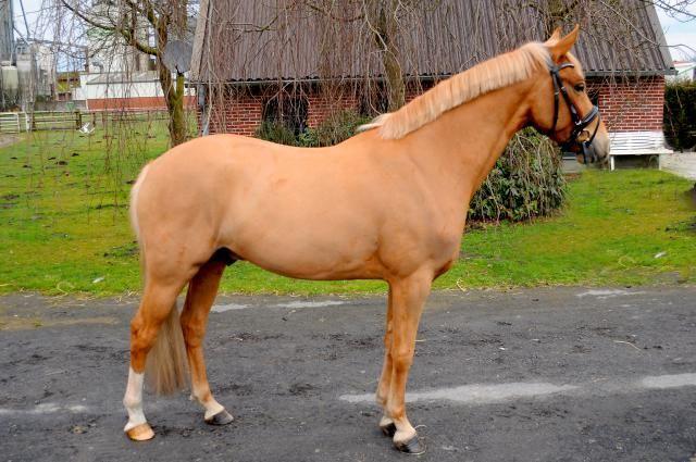 Pferd Dragon Heart Deutsches Reitpony 2011 Von Donatelli In 2020 Reitpony Reiten Pferde