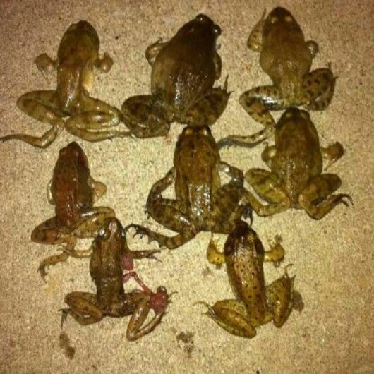 8 Best Frog Gigging Pictures Images On Pinterest Frogs