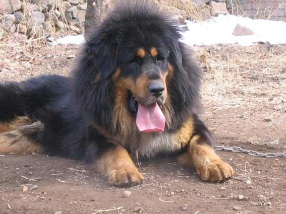 Mongolian Banhar/Mongolian Mastiff/Mongolian Dog