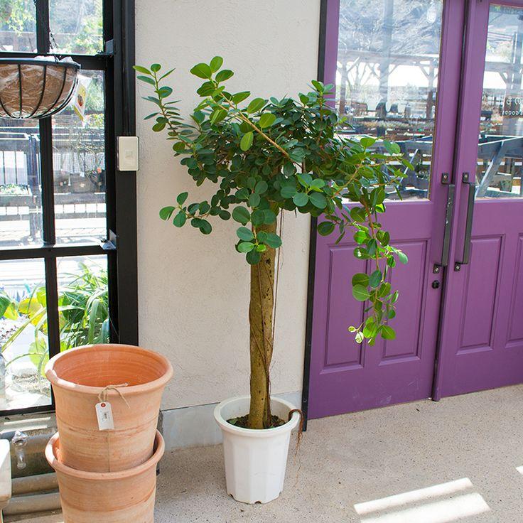 人気のガジュマルをお届けします - 人気の観葉植物の通販は花と緑と雑貨のお店 Ricochet Petit