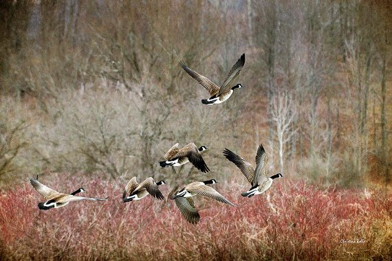 Canada Goose Canada Geese Geese Flying Photo by ChristinaRolloArt