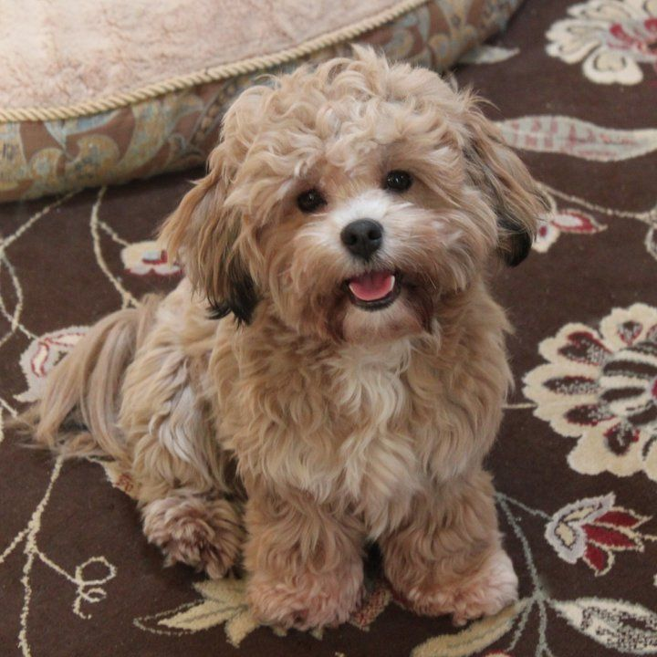 Shichon Teddy Bear (Shih Tzu-Bichon mix) Info, Temperament, Puppies, Pictures