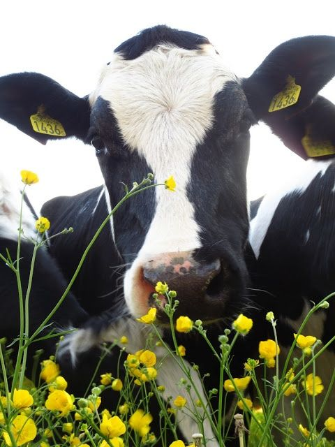 Cows and flowers! LOVE