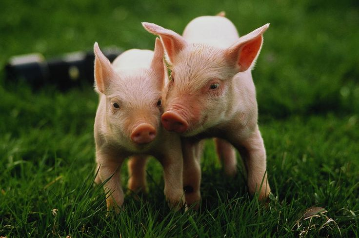 Two Yorkshire Piglets (sus Sp) In Field Photograph by Andy Sacks