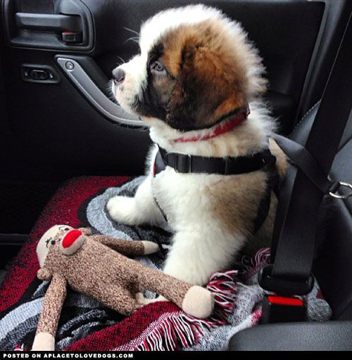 Adorable St. Bernard puppy Bosco all buckled up and ready to go for a car ride!