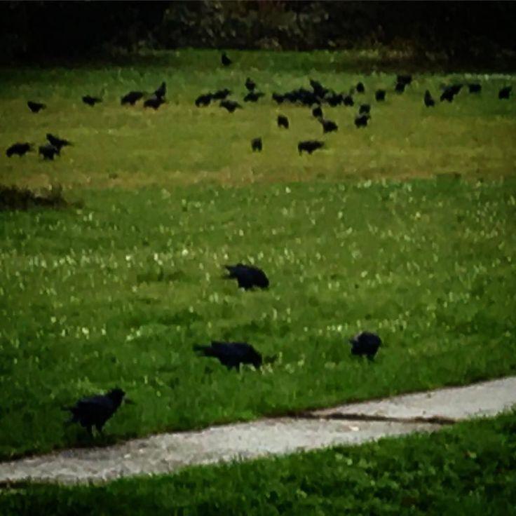 Slet... #birds #homeland