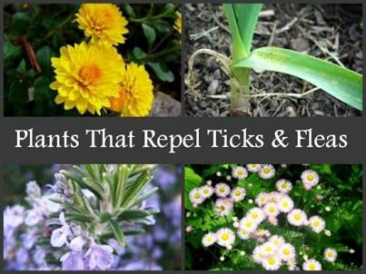 Plants That Repel Fleas and Mosquitos| Health & Natural Living Mint, Rosemary, Sage, Lavender, Lemon Grass, Catnip