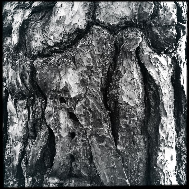 Jack Pine bark. Walking with Willow. Trees. Environment. Abstract.