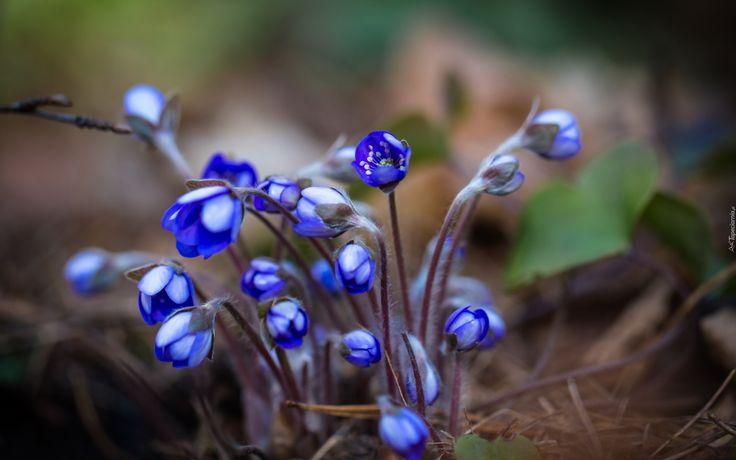 Przylaszczka, Kwiaty, Wiosna