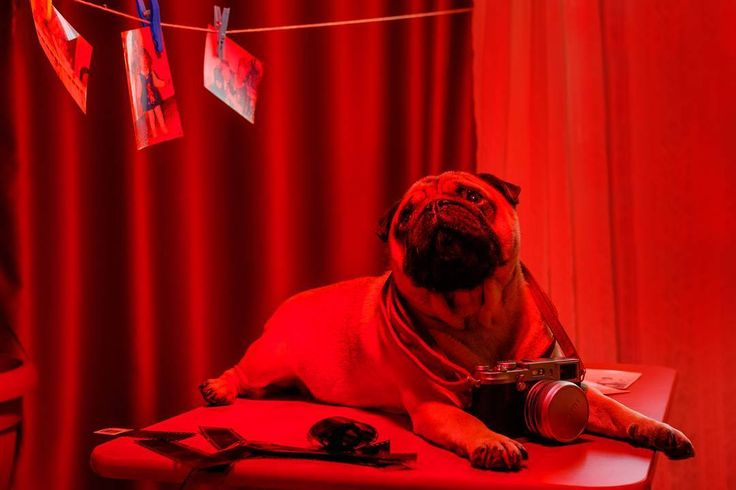 Right now I'm just the photographer's assistant but one day I will be the photographer  #mauricethepug #iulianmarcu #photographer #photography #redroom #camera #photocamera #pictures #assistant #optimist #puglife #pugchat #pugstory #pug #mops #dog