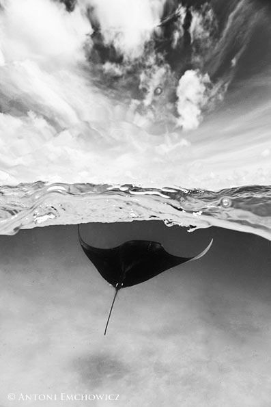 MALDIVES MANTA RAY by antoni emchowicz