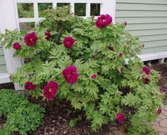 Black Tornado, Cup of Shining Night Peony Zone 8 approved. Protect against very hot summer afternoon sun. Morning sun and afternoon shade is ideal. If this is not possible, than plant peonies near a large shrub so that they are afforded a little protection from the very hot sun.In spring and summer, at least two deep waterings a week with supplemental drinks in between as necessary. This is doubly important for newly planted peonies.