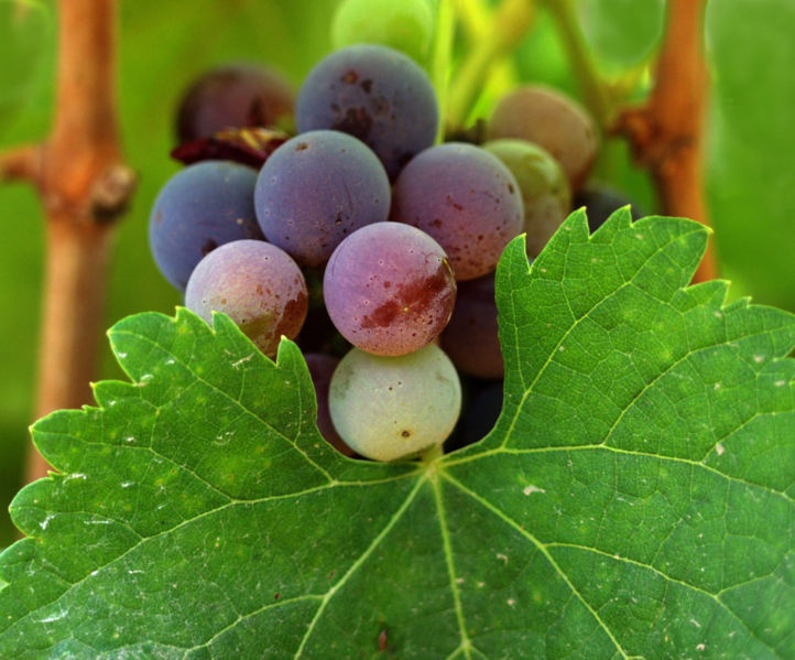 """Wine Grapes: A complete guide to 1.368 vine varieties, including their origins and flavours"""