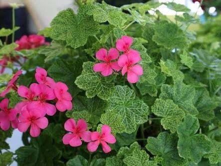 A personal favourite from my Etsy shop https://www.etsy.com/au/listing/398128543/x4-pink-flower-geranium-ivy-fancy-leaf