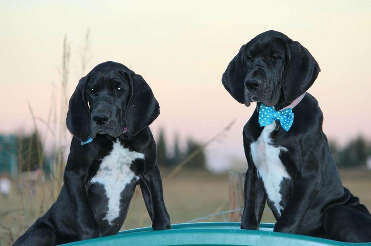 European Great Dane Black Puppies | Black puppy, Great ...