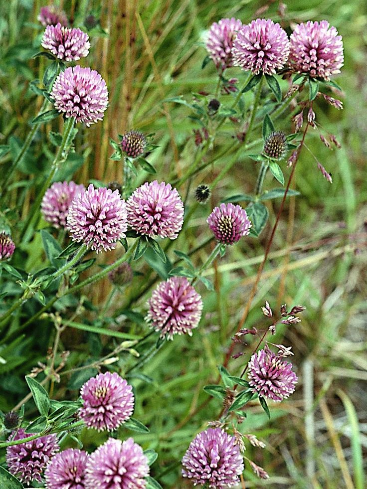 Red Clover (Trifolium pratense)  Gather the fresh flowers of this cheery weed to…
