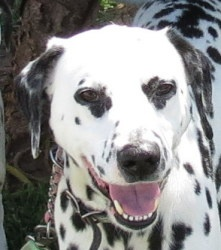 This is Robin a beautiful Dalmatian who is looking for a home through Dalmatian Rescue of Southern California, Inc. in Newport Beach, CA