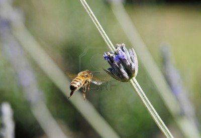 Common travel, lavender flower bee.