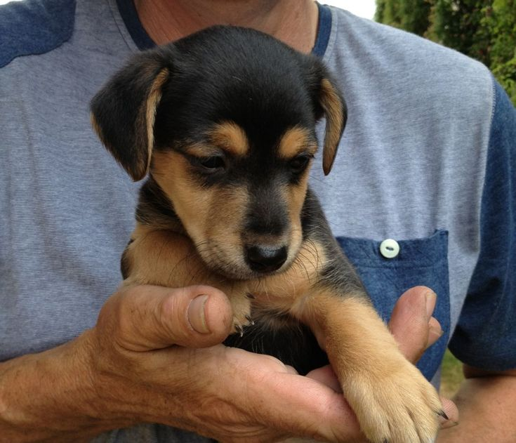 jack russel black and brown | Black & Tan Jack Russell Puppy