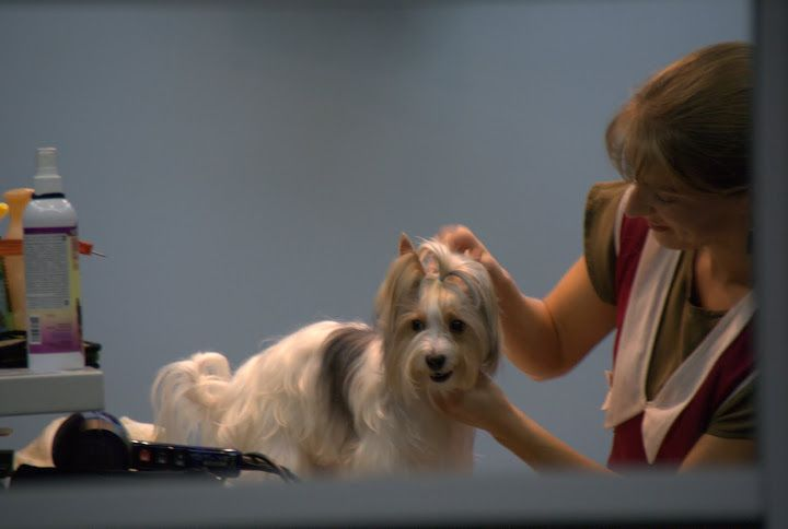 стрижка йорков, стрижка собак, бивер йоркширский терьер