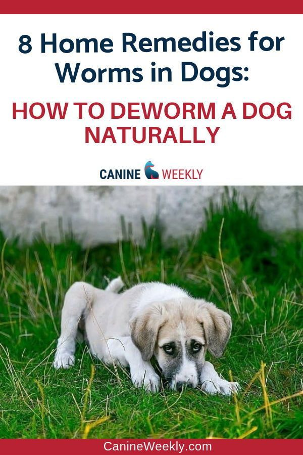 8 Home Remedies For Deworming Puppies Naturally Worms In Dogs