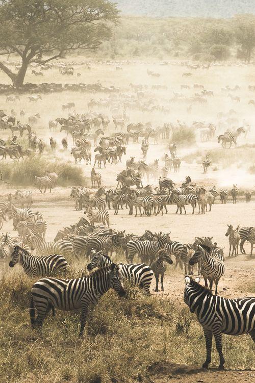 Migração de zebras no Parque Nacional do Serengeti, Tanzânia. O Serengeti abriga a maior migração animal de mamíferos do mundo.   Fotografia: ©Martijn van Wageningen.