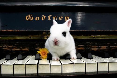 piano player: Music, Beethoven Bunnies, Gothic Bunnies, Hotot Bunnies, Creatures, Eyeliner Bunnni, Bunnies Rabbit, Players Rabbit, Piano Players