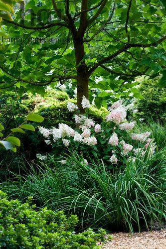 Hydrangea paniculata 'Pinky Winky'  Pawlonia  Iris azalea August Surrey RHS Wisley, Surrey Photo: Marcus Harpur Marcus Harpur 2014 RHS Wisley, Surrey UK