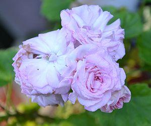 розебудная пеларгония