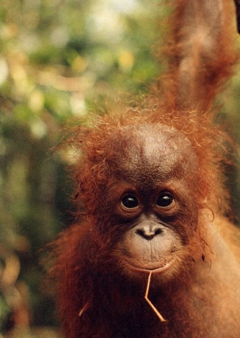 Baby orangutan checking out the camera taking his photo, cute!