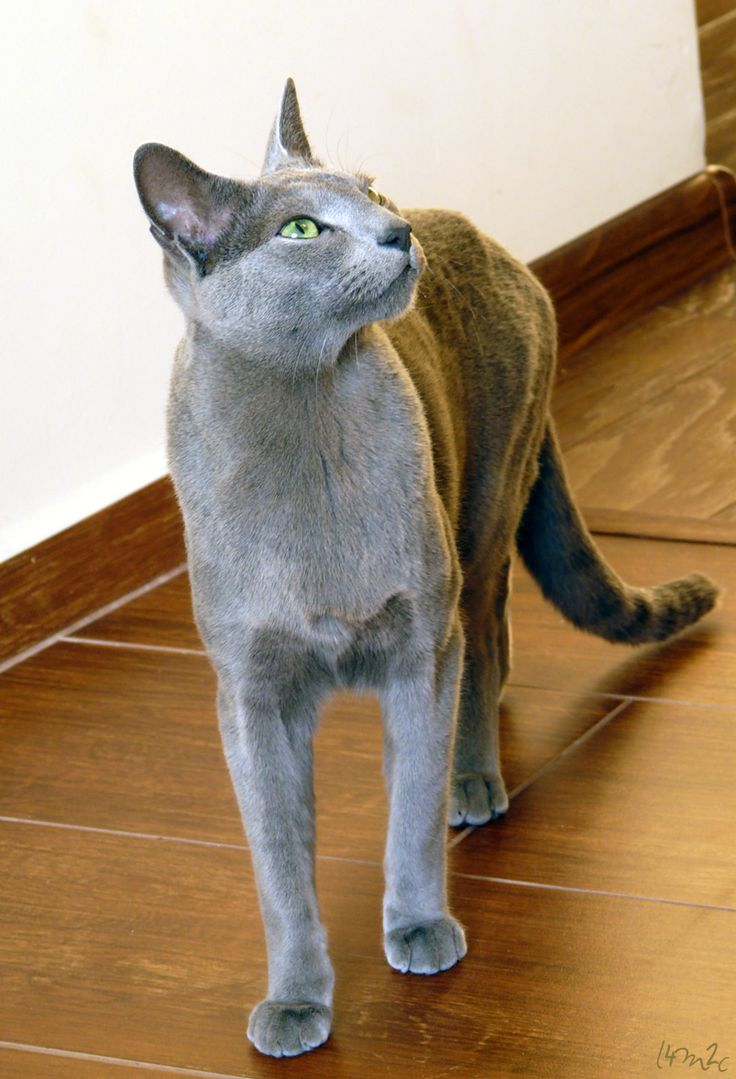 122 best Russian Blue Cats images on Pinterest