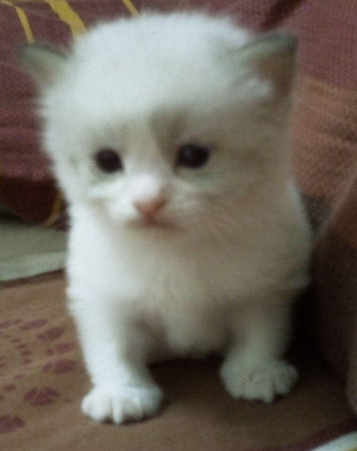 FOR SALE / ADOPTION: Purebred ragamuffin kittens for sale to good homes!