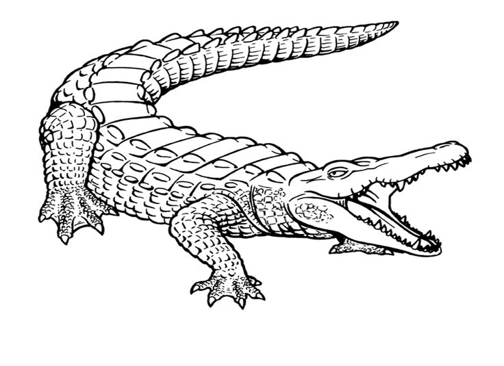 alligator drawing outline free printable crocodile coloring pages for