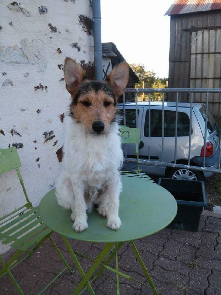 Photo de Jack  - Chien de race Jack Russell Terrier