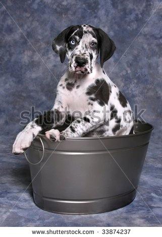 Harlequin Great Dane Puppies   Cute Harlequin Great Dane Puppy In Bucket Stock Photo 33874237 ...