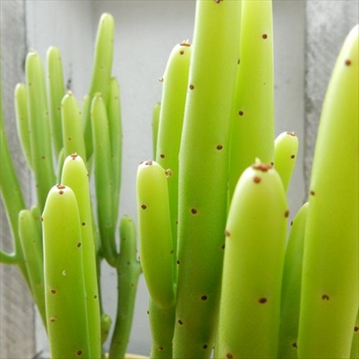 ユーフォルビア『カウボーイブッシュ』多肉植物