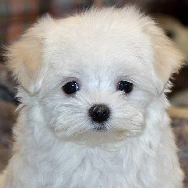 Maltese Puppy Face