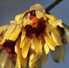 WINTER - Chimonanthus praecox wintersweet. Deliciously scented winter flowers.