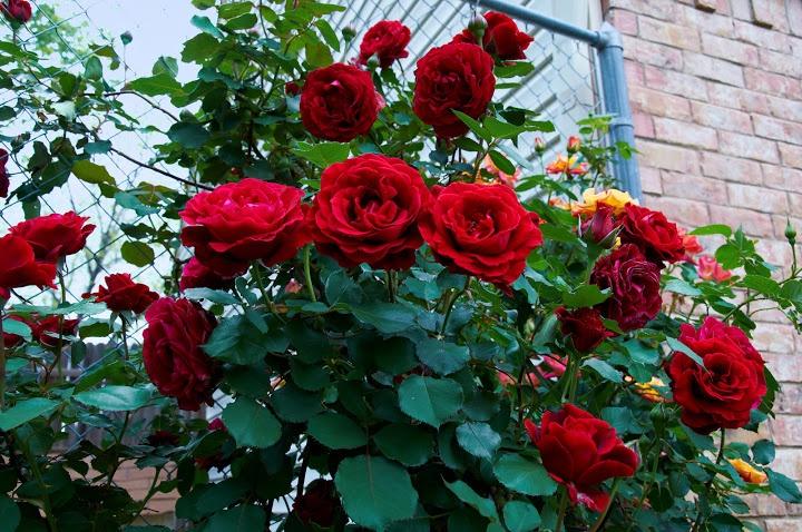 Роза дон жуан плетистая фото и описание