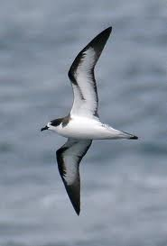 petrel - Bird of Antarctica. They can spit fishy stomach oil up to 6 feet. Scavenger bird.