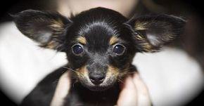 Consejos de higiene básica en perros: limpieza de los oídos
