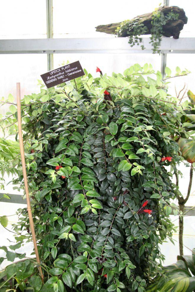 les 25 meilleures id es de la cat gorie plantes retombantes sur pinterest plante grimpante. Black Bedroom Furniture Sets. Home Design Ideas